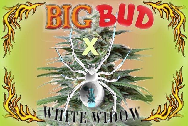 BigBudxWW.jpg