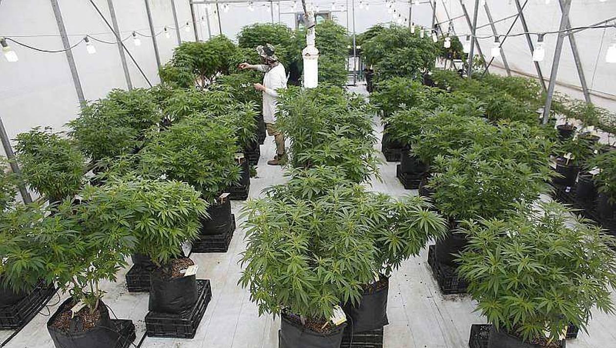 Cannabis : un relais de croissance pour l'agriculture française, selon des élus