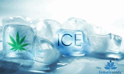 1252594375_icefemaleseeds.JPG