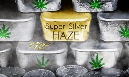 144392278_supersilverhazegreenhouseseeds.JPG