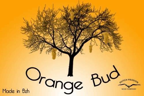 1895194656_orangebuddutchpassion.JPG
