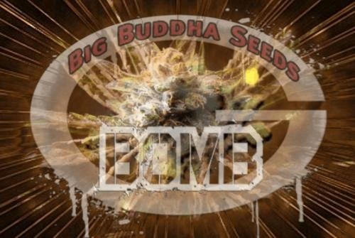 576037260_bombbigbuddhaseeds.JPG