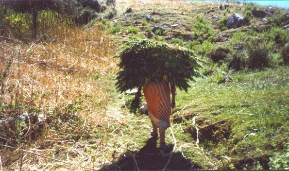 Maroc et cannabis : justice à deux vitesses