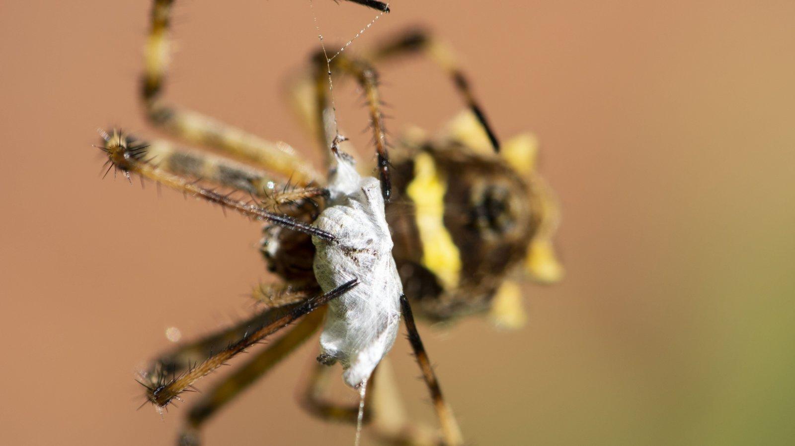 Araignée colombie