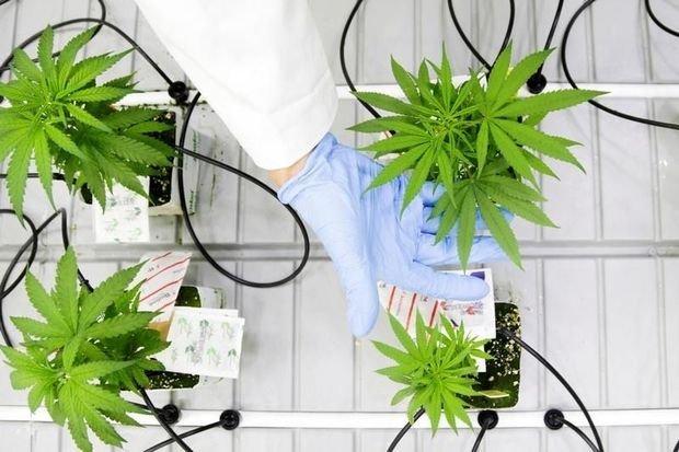 Cultivateur de cannabis: un métier d'avenir au Canada