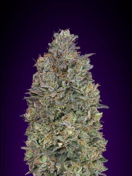 Critical Purple Kush