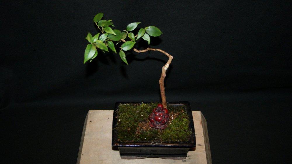 bonsai ficus 1.jpg