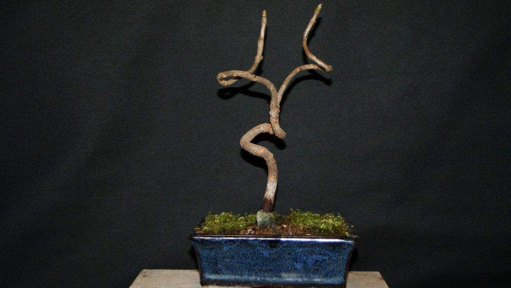 bonsai chêne.jpg