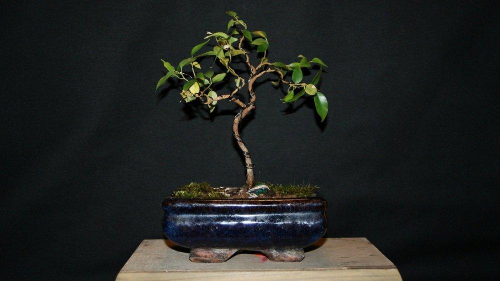 bonsai ficus A.jpg