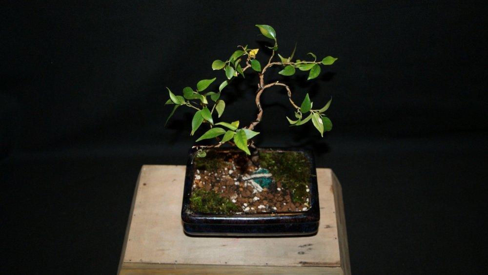 bonsai ficus A 1.jpg