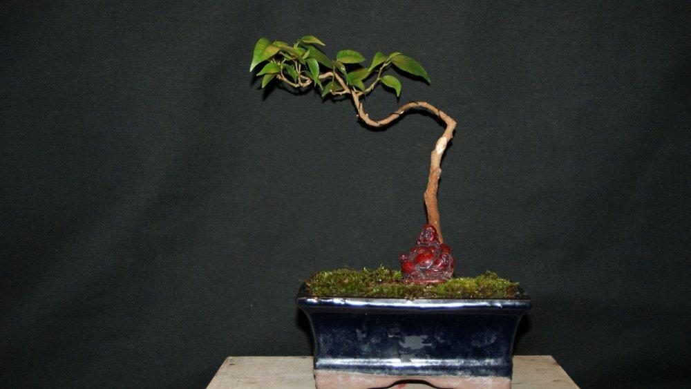 bonsai ficus.jpg