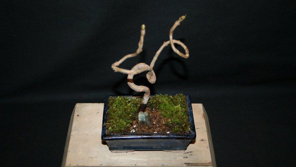 bonsai chêne 1.jpg