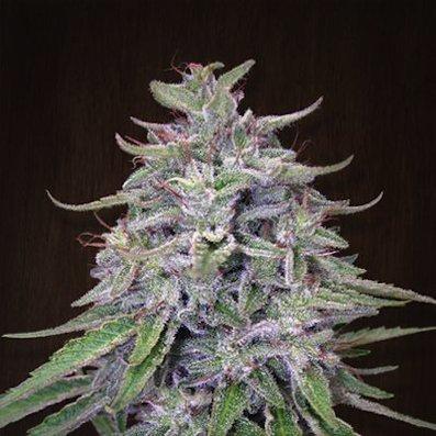Bangi Haze (ACE Seeds)