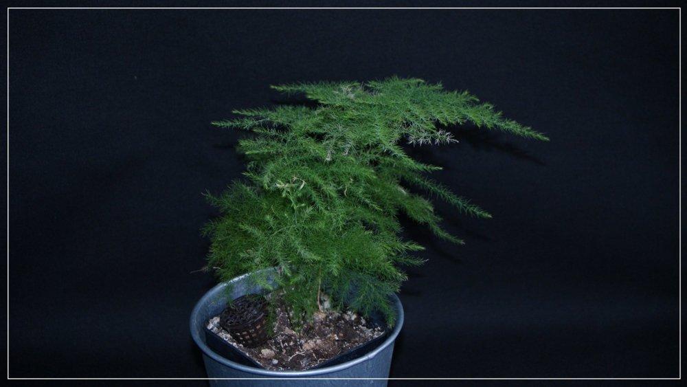 Asparagus_'Plumosus'.jpg