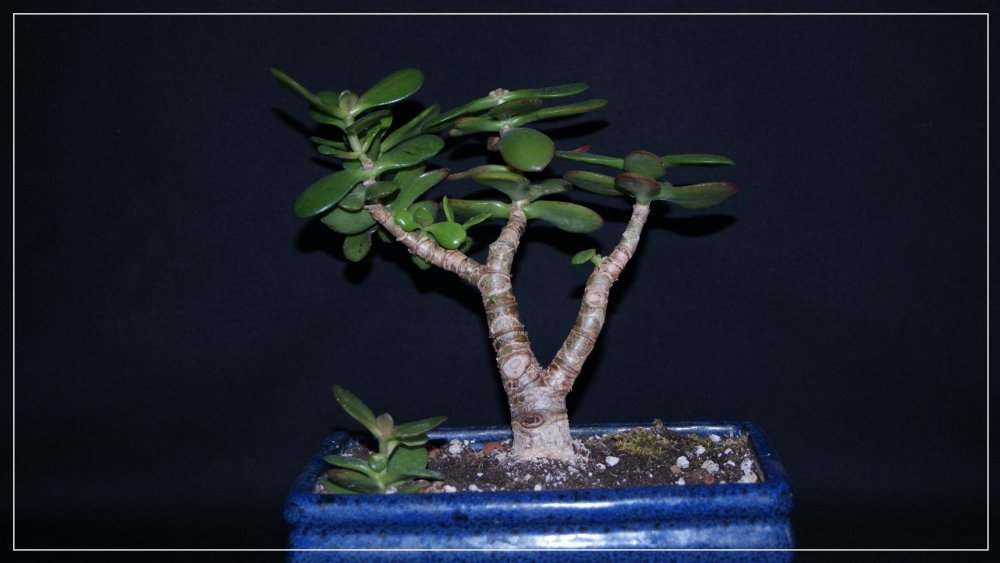bonsaï Crassula.jpg