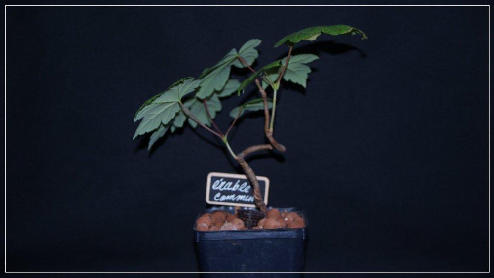 bonsaï érable 2.jpg