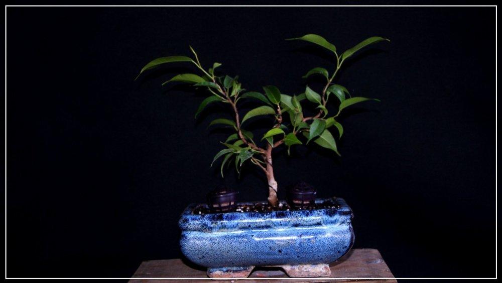 pré bonsai ficus benjamina 2.JPG