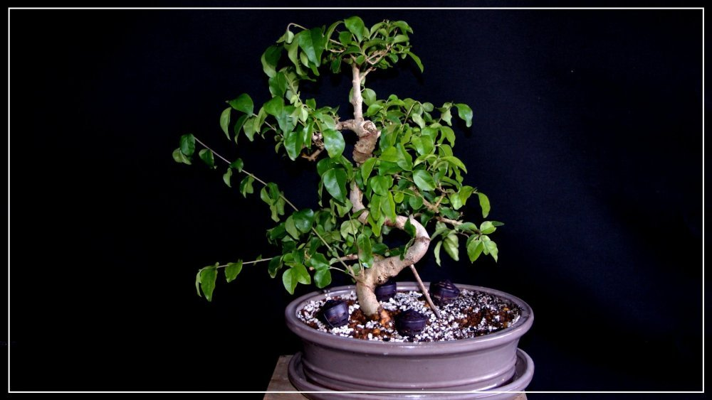bonsai Ligutrum 2.jpg