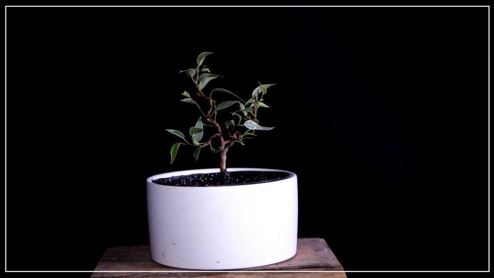 pré bonsai ficus benjamina starlight.JPG