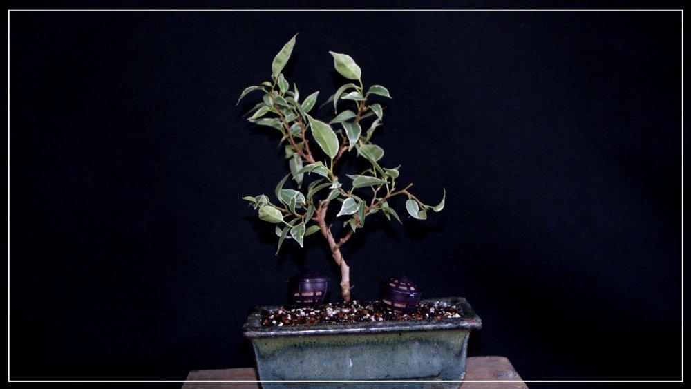 pré bonsai ficus benjamina starlight 2.JPG
