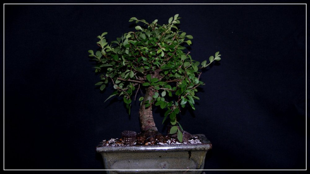 bonsai Orme de chine.JPG
