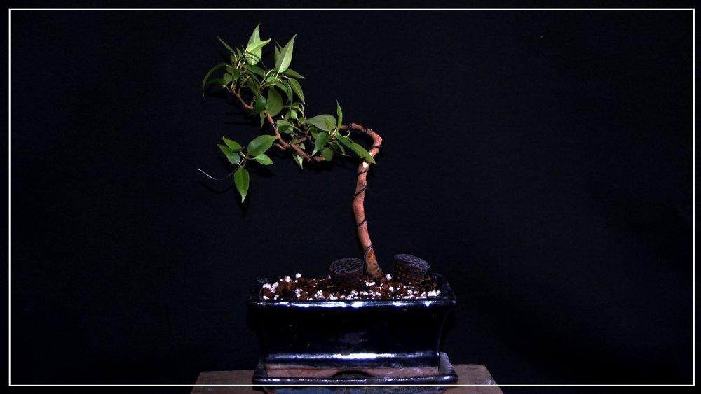 pré bonsai ficus benjamina.JPG