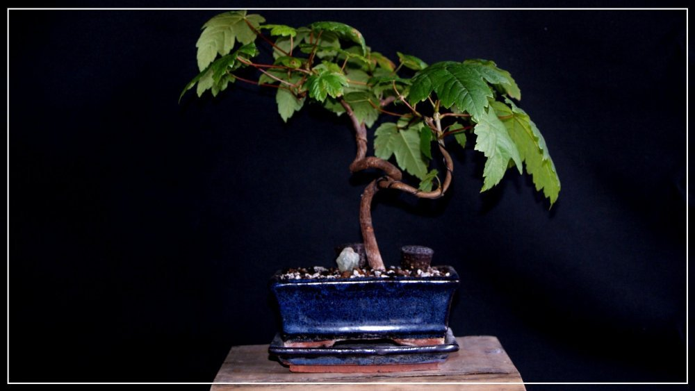 bonsai érable commun.JPG