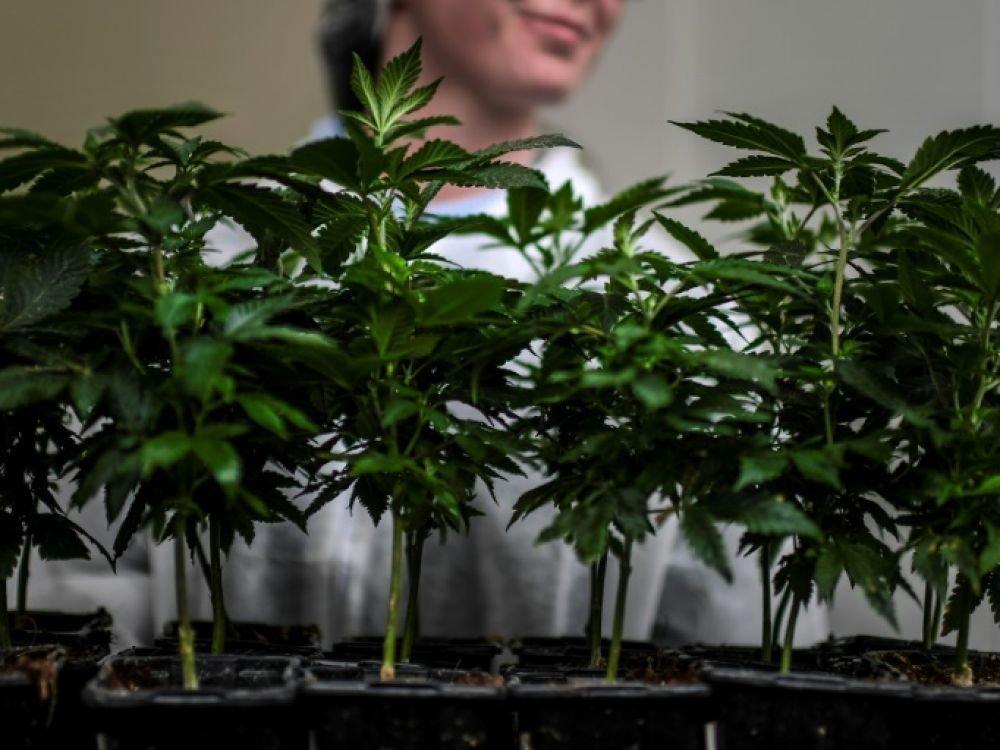"""Cannabis """"thérapeutique"""": une appellation """"abusive"""", selon l'Académie de pharmacie"""
