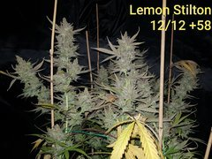 Lemon Stilton #6 A