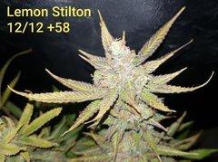 Lemon Stilton #6 C