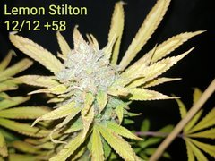 Lemon Stilton #4 C