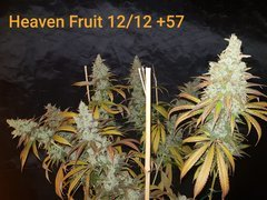 Heaven Fruit A