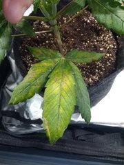 Amnesika Querkle et tripleberry f2