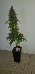weed420-441.jpg