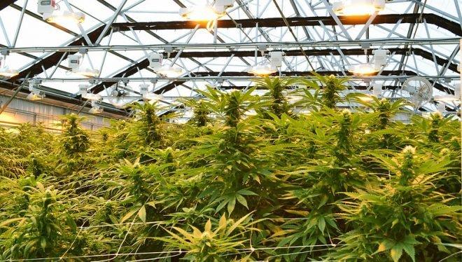 Cannabis thérapeutique : les intérêts bien compris de l'État