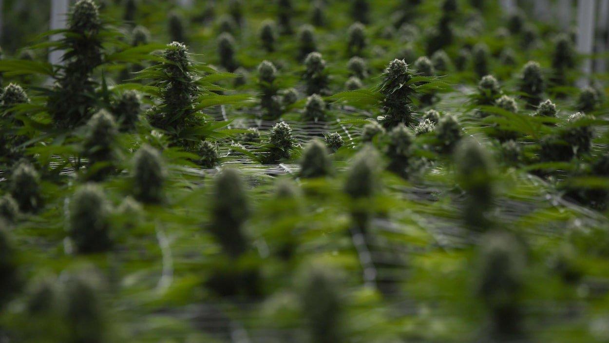La légalisation du cannabis au Canada, un modèle pour la Grande-Bretagne?