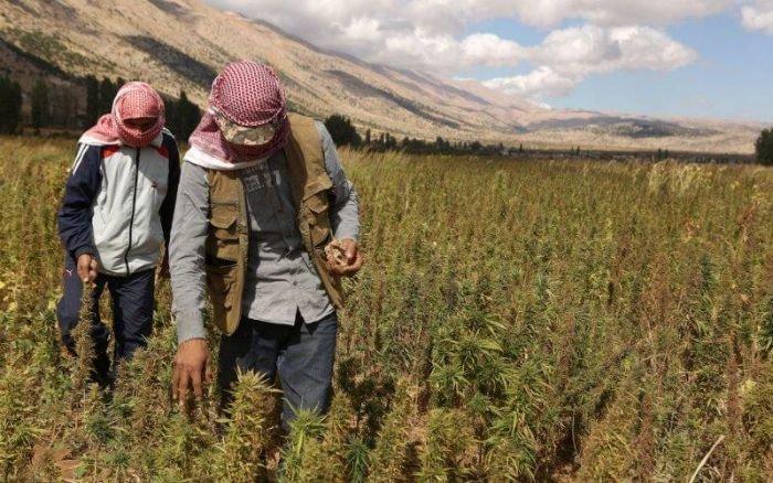 Surproduction de haschich au Liban, désarroi des producteurs