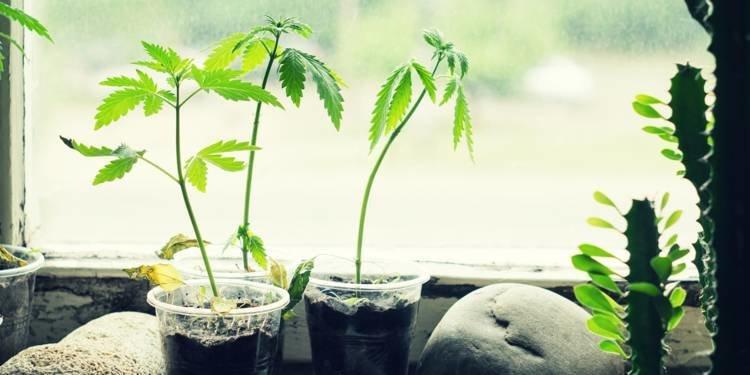 Comment Culture Indoor profite du cannabis sans jamais en parler