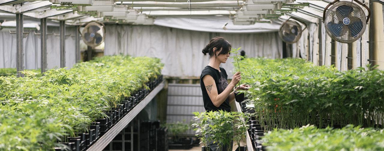 Suisse - Le Conseil national soutient la distribution de cannabis à but scientifique