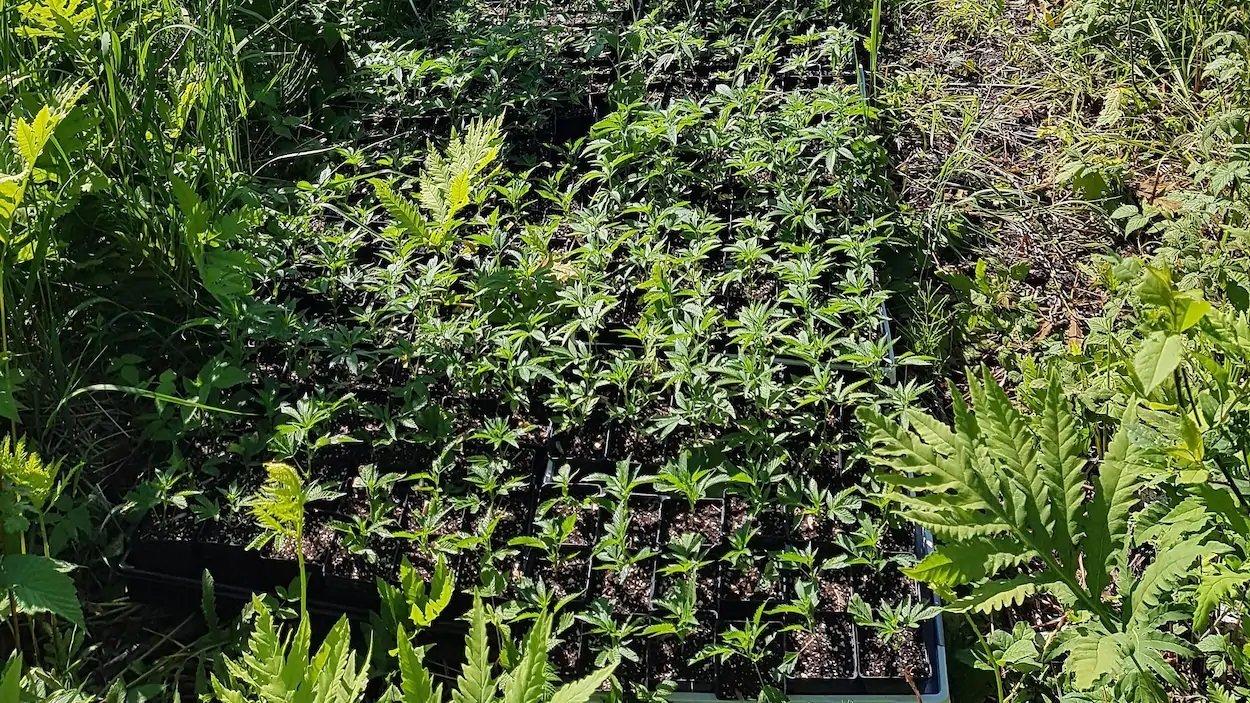 Canada - Québec: Fumer du cannabis est légal, mais le cultiver demeure interdit comme la commercialisation des produits de cannabis comestibles