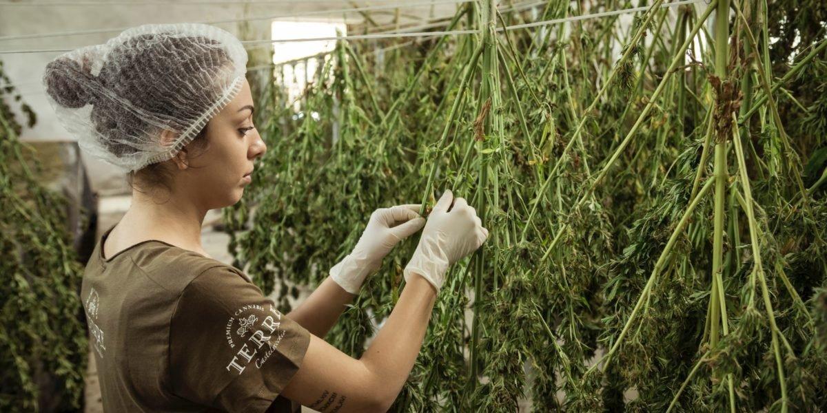 Est-ce que Luxembourg deviendra le paradis du cannabis ?