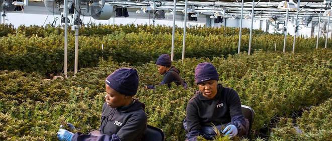 Le Malawi encadre sa légalisation du cannabis