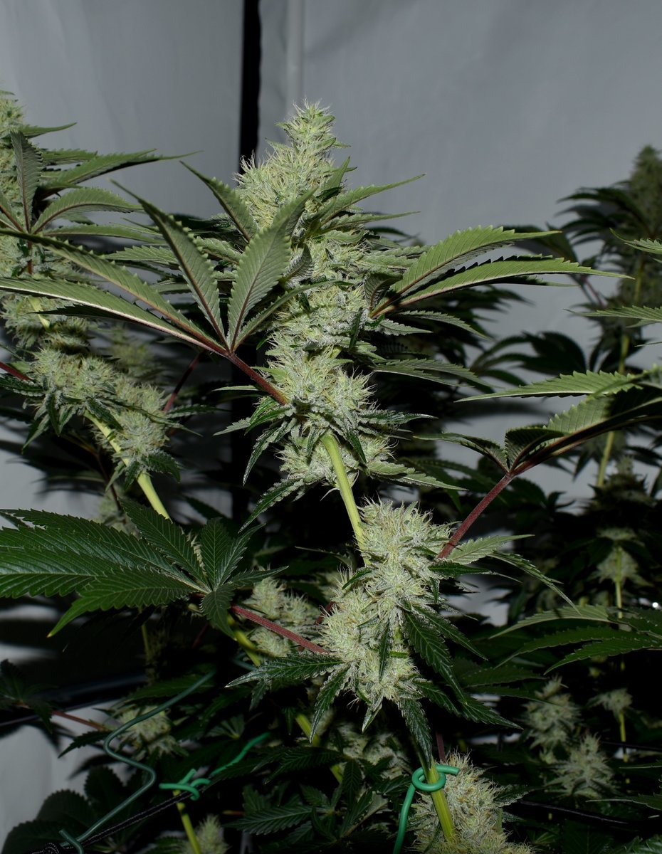 Exotic Genetix Guicy G (The Guice x triple OG) 12/12 +38