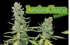 London Cheese 13 semaines de 12/12