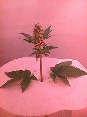 Secondaire de plant mâle