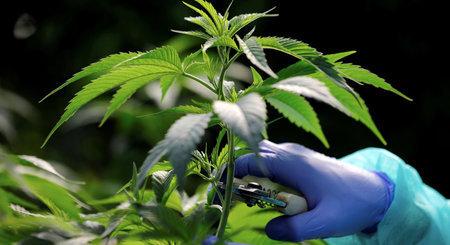 Suisse - Le Conseil national est favorable aux tests de distribution de cannabis récréatif