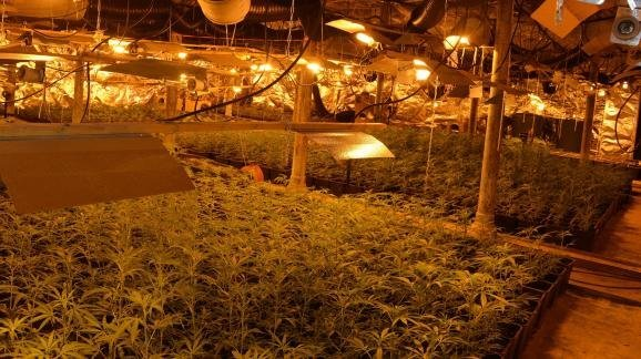 Drogue : les cultivateurs de cannabis profitent de la crise sanitaire