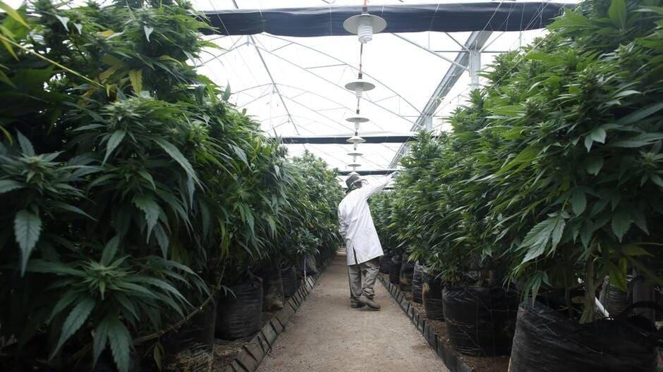 Cannabis. Israël autorise l'exportation et s'imagine en champion mondial