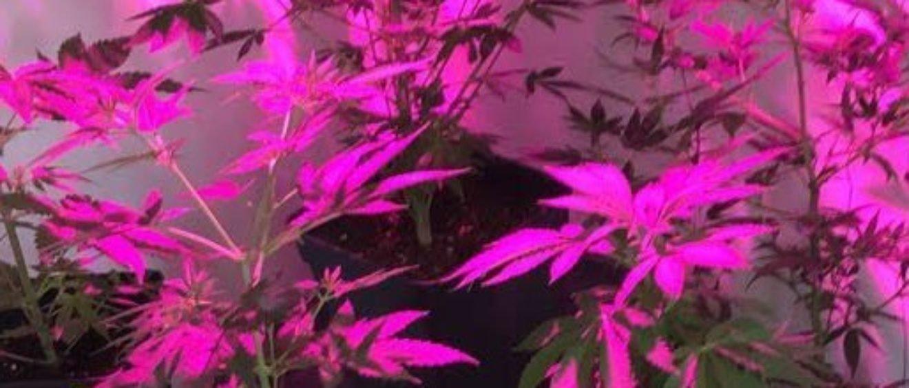 Cannabis à Vienne, un statut juridique confus ?