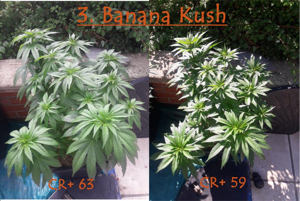 3 Bananakush.png